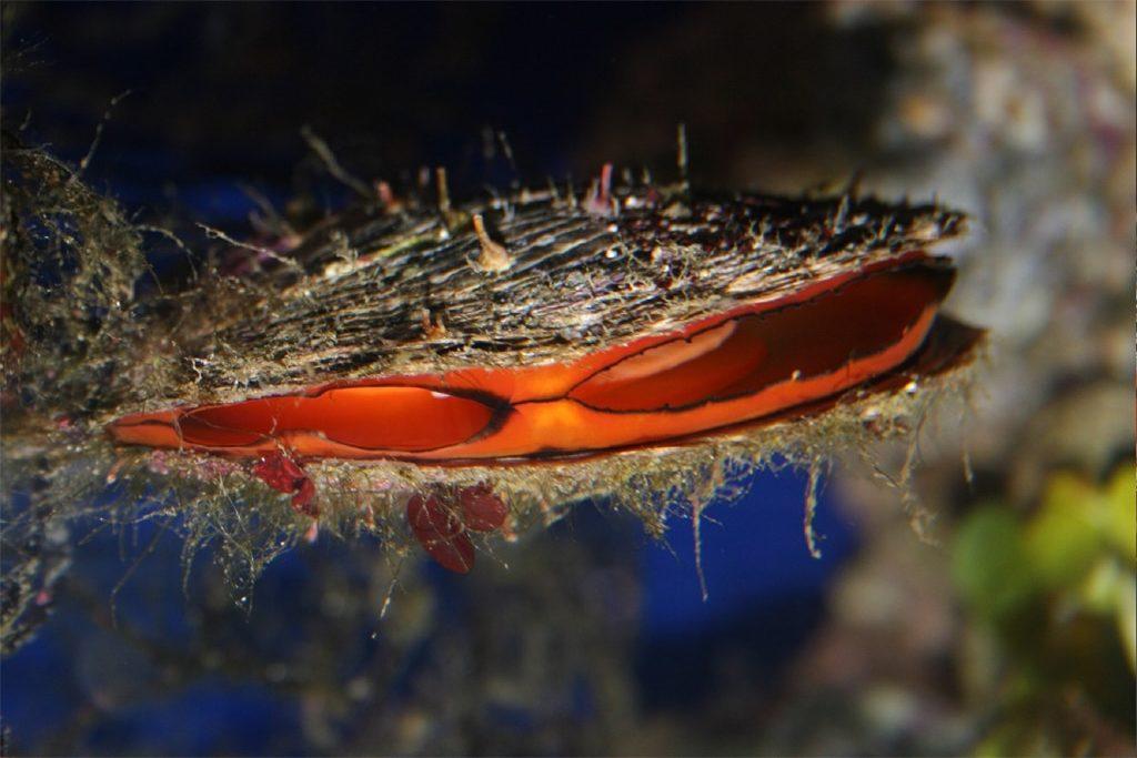Pinctada_margaritifera,_Aquarium_Finisterrae,_Galicia,_Spain